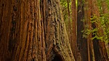 Muir Woods - Tourism Media
